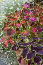 Colourful coleus in terracotta pots, Solenostemon 'Festival Dance' and 'Chocolate Mint', Erigeron,karvinskianus