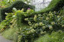 Yew hedges, Hydrangea paniculata 'Floribunda', Anemanthele lessoniana