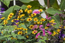 Heliopsis helianthoides var. scabra 'Summer Nights', Persicaria orientalis, Salvia 'Amistad', Hibiscus acetosella 'Mahogany Splendor'