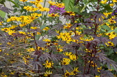 Hibiscus acetosella 'Mahogany Splendor', Heliopsis helianthoides var. scabra 'Summer Nights'
