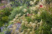 Miscanthus nepalensis, Dahlia coccinea (Mary Keen form), Salvia 'Amistad'