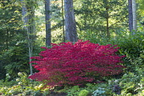 Euonymus alatus 'Compactus' at woodland edge