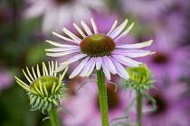 Echinacea purpurea Sussex Prairie seedling