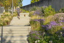 Woman walking dog, stone steps, Rosa 'Apfelblüte', Sesleria autumnalis, Aster dumosus 'Zwergenhimmel', Aster trifoliatus subsp. ageratoides 'Asran', Aster laevis 'Calliope'