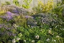 Rosa 'Apfelblüte', Sesleria autumnalis, Aster dumosus 'Zwergenhimmel', Aster trifoliatus subsp. ageratoides 'Asran', Stephanandra Incisa 'Crispa'