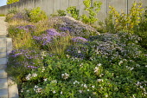 Rosa 'Apfelblüte', Sesleria autumnalis, Aster dumosus 'Zwergenhimmel', Aster trifoliatus subsp. ageratoides 'Asran', stone steps, Stephanandra Incisa 'Crispa'