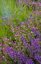 Drift of Geranium 'Brookside' and Geranium x oxonianum 'Rose Clair' and Nepeta racemosa 'Walker's Low'