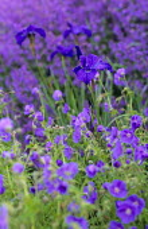 Geranium 'Brookside' and Iris sibirica 'Vi Luihn', nepeta