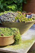 Sempervivums and sedums in containers on table