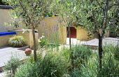 Olive trees underplanted with Stipa tenuissima, lavender and Linaria purpurea, rendered walls