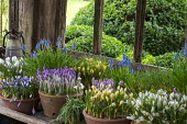 Collection of crocus and muscari in terracotta pots on wooden porch shelf
