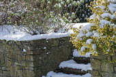 Steps covered with snow, stone wall, Euonymus fortunei 'Emerald 'n' Gold'