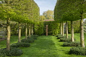 Hornbeam avenue underplanted with Buxus sempervirens