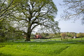 Drift of daffodils naturalised in lawn around base of oak tree, view to house, mown paths through long grass