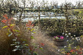 Photinia x fraseri 'Pink Marble', Anemanthele lessoniana, Primula vulgaris in wooden barrel contain, viburnum, trained apple espalier screen
