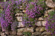Aubrieta growing on dry-stone wall