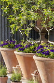U-trained apple espaliers in terracotta containers underplanted with pansies and strawberries
