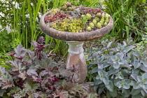 Sempervivums in terracotta pot in border, Heuchera villosa 'Palace Purple', hylotelephium syn. sedum