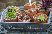 Sempervivums in small terracotta pots in wooden tray