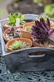 Sempervivums in small terracotta pots in wooden tray on table