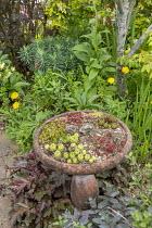 Sempervivums in terracotta pot in border, Heuchera villosa 'Palace Purple', sedum