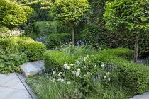 Prunus lusitanica 'Angustifolia' standard lollipop trees, low clipped box hedges, geraniums, York stone paving, Lavandula angustifolia 'Munstead'