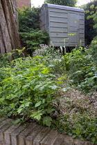 Saxifraga x urbium, Alchemilla mollis, Anemone 'Elfin Swan', Astrantia 'Buckland', Heuchera cylindrica 'Greenfinch', view to shed