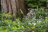 Alchemilla mollis and Astrantia 'Buckland' at base of tree, Heuchera cylindrica 'Greenfinch', Anemone 'Elfin Swan'
