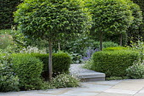 Prunus lusitanica 'Angustifolia' standard lollipop trees, low clipped Buxus sempervirens, Erigeron karvinskianus