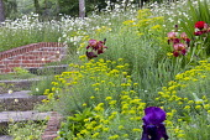 Brick-edged steps, Iris 'Quechee' and 'Sable', Euphorbia seguieriana subsp. niciciana, Leucanthemum vulgare, Euphorbia oblongata