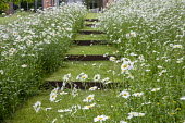 Sloping drift of Leucanthemum vulgare, steps in lawn with steel risers