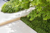 Acer underplanted with Euonymus fortunei 'Minimus', stone paving, Hakonecloa macra