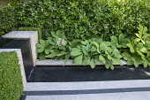 Rodgersia by formal rill and waterfall, Trachelospermum jasminoides climbing on wall