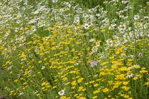 Glebionis segetum syn. Chrysanthemum segetum and Leucanthemum vulgare in wildflower meadow