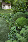 Large box ballls in border, ivy, astrantia, ferns, view to sumemrhouse