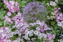 Astrantia, allium and roses