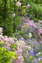 Roses, geraniums and alliums in border