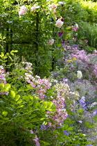 Roses in cottage garden