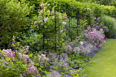 Row of black painted obelisks, roses, geraniums and alliums in border by lawn