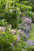 Roses, geraniums and alliums in border by lawn
