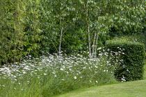 Leucanthemum vulgare under Silver birch trees
