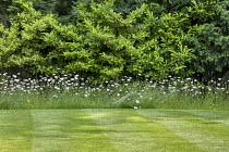 Leucanthemum vulgare fringe around mown lawn with mowing stripes