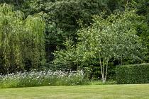 Leucanthemum vulgare by Silver birch