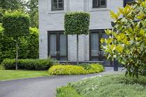Driveway in front of house, pleached hornbeams, Hakonechloa macra 'Aureola', magnolia, laurel hedge, hebe
