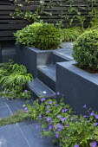 Tiny urban courtyard, Hakonechloa macra, geranium, Taxus baccata, Buxus sempervirens, Pittosporum tobira 'Nanum', thyme in paving cracks, black painted fence, steps