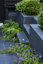 Tiny urban courtyard, Hakonechloa macra, geranium, Taxus baccata, Pittosporum tobira 'Nanum', thyme in paving cracks, black painted fence, steps