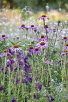 Echinacea purpurea 'Magnus', Penstemon 'Raven'