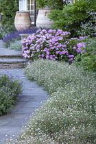 Erigeron karvinskianus edging path, Hydrangea macrophylla, salvia, large terracotta urn water butts