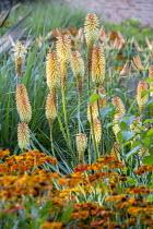 Kniphofia 'Tawny King', Helenium 'Moerheim Beauty'