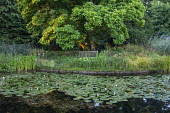 Wooden bench overlooking wildlife pond with water lilies, Magnolia x soulangeana